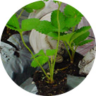 9月苗を植える